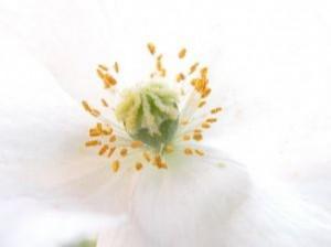kwiaty-białe-mak_2172789